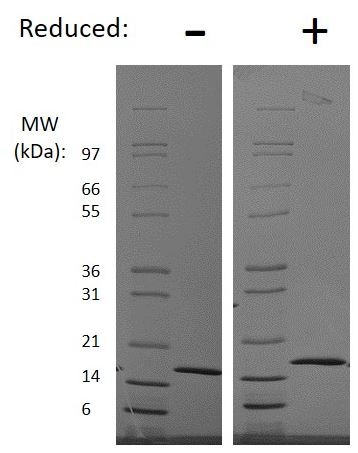 SDS-PAGE - Recombinant human Interferon gamma protein (Active) (Animal Free) (ab218101)